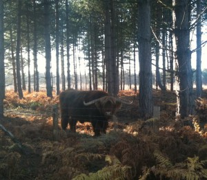 Highland cattle in the Blean