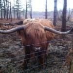 Highlandbull